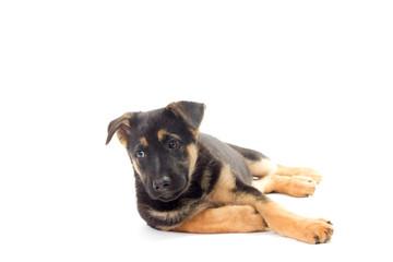 puppy looking, German Shepherd