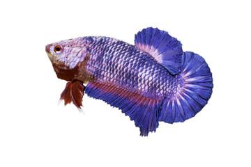 Betta fish isolated on white