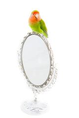 oiseau inséparable roséicolis  sur un miroir - lovebird