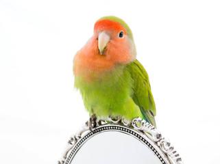 portrait oiseau inséparable - Lovebird