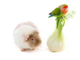 oiseau inséparable roséicolis - lovebird et cobaye