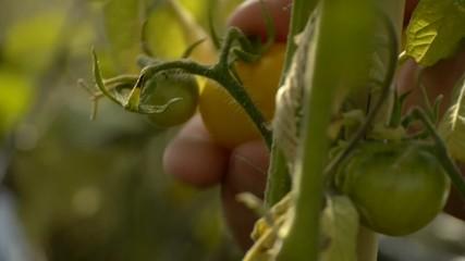 Tomate pflücken