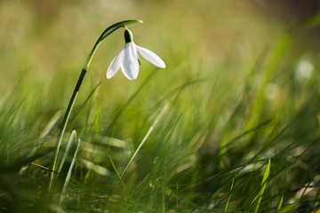 Snowdrop in grass with blurred background