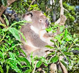 Australian grey Koala Bear in eucalyptus tree , Sydney, Australi