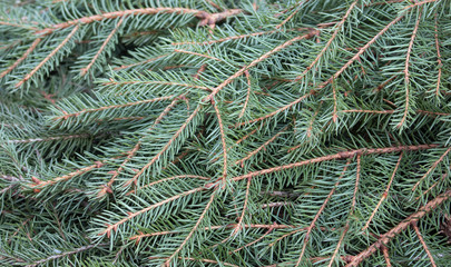 Spruce branches background
