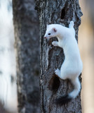 Ermine in a winter coat