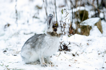 Grey-Brown Snowshoe Hare Sheds His  Fur in Autumn