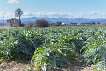 Plantación de alcachofas.