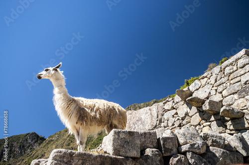 In de dag Lama llama standing in Macchu picchu ruins
