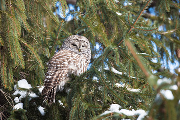 Barred Owl in Winter