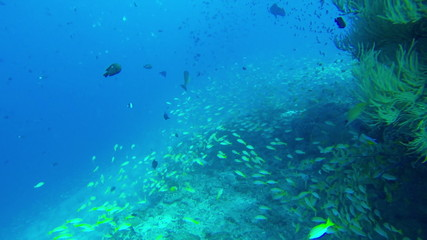 School of yellow Fish and Diver