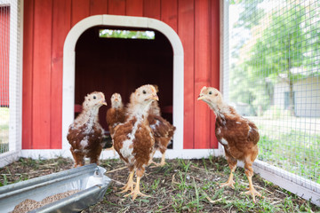 Baby Rhode Island Red Chickens in a Coop