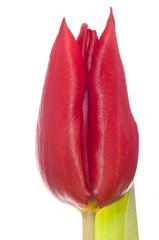 single red tulip flower