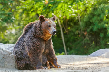Grizzly brown bear seating in forest