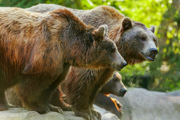 Grizzly brown bear with another bears, in profile, sideview