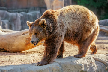 Grizzly brown bear walking on rock