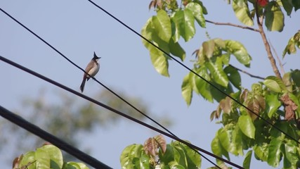 Red-whiskered bulbul is resting on the electrical line