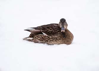 Female Mallard on Snow in Winter