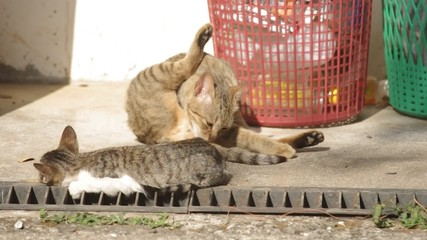 A domestic cat cleaning herself