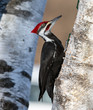 Pileated Woodpecker in Winter