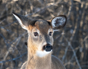 White-tailed Deer Doe in Winter