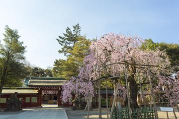 しだれ桜と大國魂神社