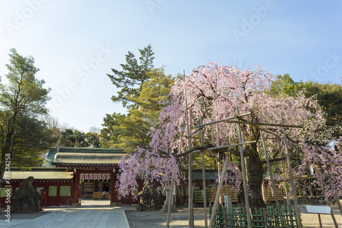 Papiers peints Cerises しだれ桜と大國魂神社