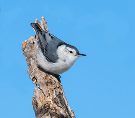 White-breasted Nuthatch in Winter on Blue Sky