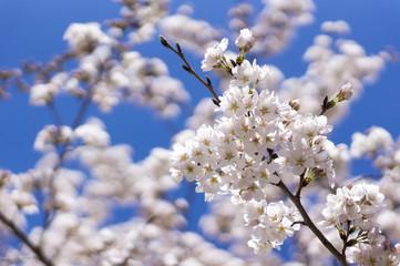 桜 快晴青空 クローズアップ