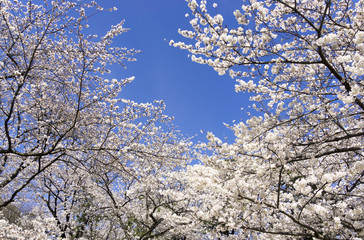 桜 快晴青空 シンプル背景用