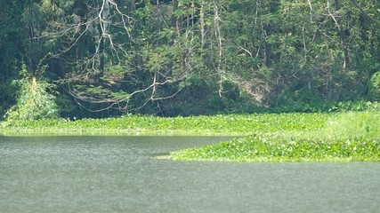 Group of water hyacinth in the reservoir with moving wave