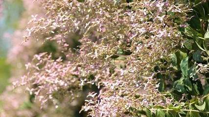 Footage of Wooly Congea flowers are moving with wind