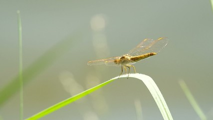 Dragonfly is resting on the grass shoot near the water reservoir