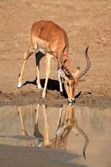 Male impala antelope drinking water