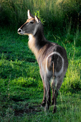 Female waterbuck antelope in late afternoon light
