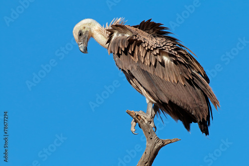Fotobehang Vogel White-backed vulture (Gyps africanus)