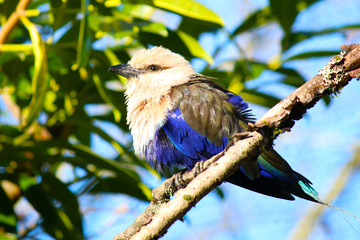 Blue-bellied roller Bird Coracias cyanogaster
