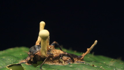 Cordyceps fungus infecting a cricket in rainforest, Ecuador
