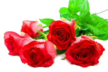 Fresh buds of red roses