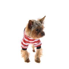 Portrait Puppy Yorkshire Terrier