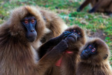 Family of gelada baboons