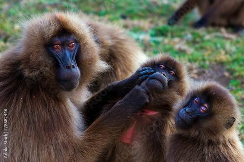 Fotobehang Aap Family of gelada baboons