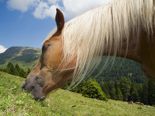 head of haflinger horse feeding