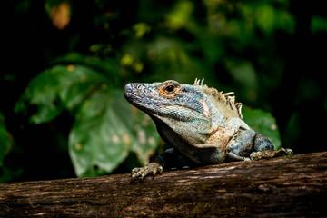 regard d'un iguane vert - Costa Rica
