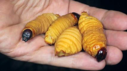 Edible palm weevil larvae (Rhynchophorus phoenicis)