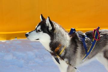 Husky mit Geschirr für Hundeschlitten im Profil