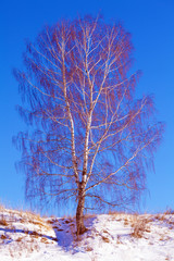 Single Birch Tree at Snowy Slope Landscape