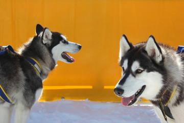 Zwei Siberian Husky - Schlittenhunde - im Profil