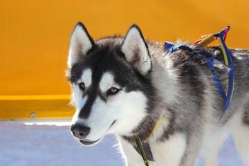Siberian Husky vor einem Hundeschlittenrennen im Profil