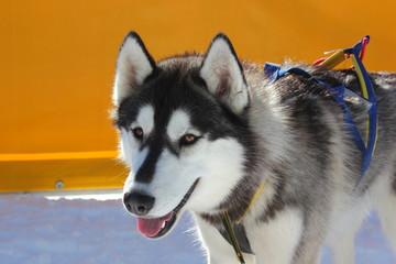 Portrait eines Schlittenhundes - Siberian Husky